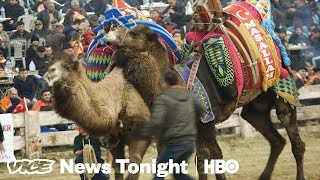 EUROPESE OMROEP | VICE News | Camel Wrestling Is Real And We Went To See It In Turkey (HBO) | 1518659084 2018-02-15T01:44:44+00:00