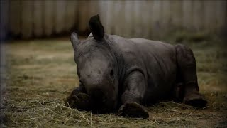 EUROPESE OMROEP | AFP news agency | A rhino and three tigers are born at Amneville zoo | 1519166662 2018-02-20T22:44:22+00:00